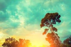 一棵杉树的剪影反对日落天空的 库存照片