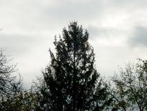 一棵杉树的剪影在蓝色背景的 库存照片
