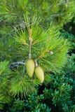 一棵杉树的细节在Panormos附近的在斯科派洛斯岛海岛  库存图片