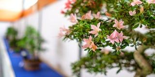 一棵杜娟花盆景树的桃红色花在陈列的 免版税库存照片