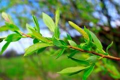 一棵杨柳的年轻新芽在春天 免版税库存照片