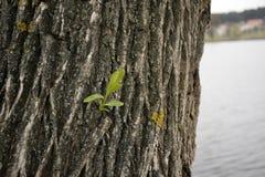 一棵杨柳的树干在湖附近的 免版税库存照片