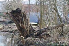 一棵杨柳的遗骸沿水的waddinxveen Netherlan 免版税库存照片
