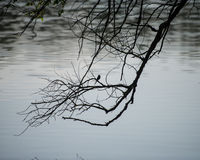 一棵树和一只鸟的分支在湖背景浇灌 免版税图库摄影
