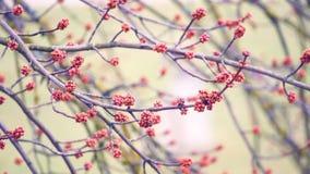 一棵树和肾脏的春天吠声在分支 影视素材