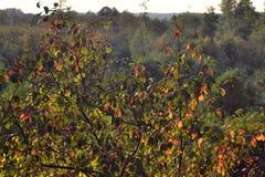 一棵树在有开始转动黄色的叶子的森林里,秋天初期  免版税库存图片
