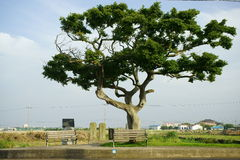 一棵树在济州海岛 库存图片