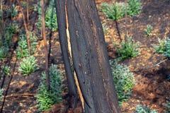 一棵树在烧伤森林里 图库摄影