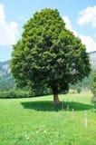 一棵树在草甸 免版税图库摄影