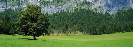 一棵树在草甸 免版税库存照片