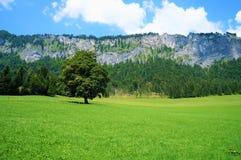 一棵树在草甸 库存图片
