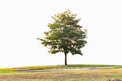 一棵树在高尔夫球场,在绿色和地堡附近, isolat 免版税库存照片