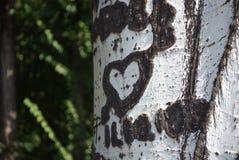 一棵树白杨树的吠声与图片的 免版税图库摄影