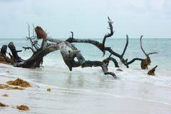 一棵树的一个大老分支在海滩的 库存图片