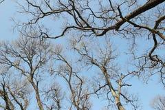 一棵树的光秃的分支反对蓝天,自然春天backgrou的 库存图片