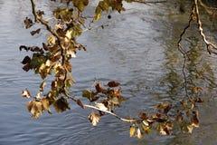 一棵树的分支与五颜六色的秋叶的在河的河岸 免版税库存照片