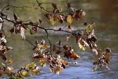 一棵树的分支与五颜六色的秋叶的在河的河岸 库存照片