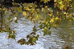 一棵树的分支与五颜六色的秋叶的在河的河岸 图库摄影