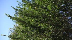一棵树的分支与绿色叶子的在摇摆在风的一个明亮的晴天反对蓝天 环境 股票录像