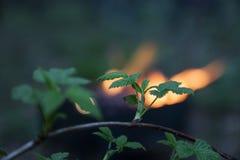 一棵树的分支反对火的在一manga在春天森林 免版税库存图片