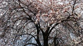 一棵树的分支在开花的-春季开花 库存照片