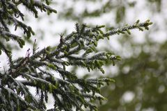 一棵树的分支在雪的 云杉 库存图片