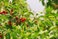 一棵树的分支用成熟果子樱桃 免版税库存照片