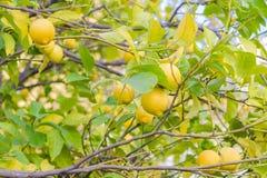 一棵树的分支用成熟柠檬和绿色叶子在庭院里 被弄脏的背景 库存照片