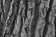 一棵树的吠声在黑白照片的 库存照片