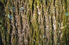 一棵树的吠声纹理与地衣的 免版税库存图片