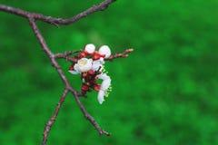 一棵树的春天分支与开花的白色小花的 图库摄影