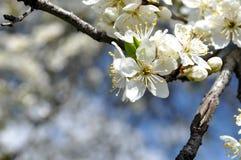 一棵树的枝杈在开花的在春天期间 库存图片