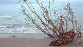 一棵树的树干在海的岸的 股票录像