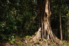 一棵树的树干的底部,在一个热带森林里 免版税库存图片