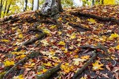 一棵树的根在一个森林里在秋天 免版税图库摄影
