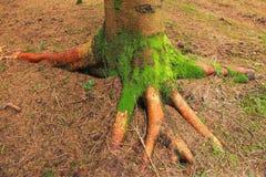 一棵树的根在森林的底部的 库存照片