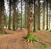 一棵树的根在森林的底部的 库存图片