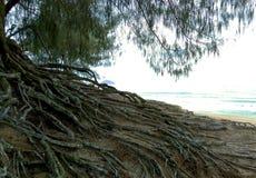 一棵树的根在海滩的沙子的 库存照片