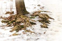 一棵树的根在雪的 库存照片