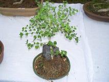 一棵树的盆景植物在一个小花盆的 库存图片