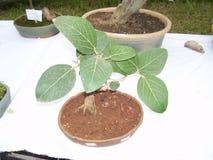 一棵树的盆景植物在一个小花盆的 库存照片