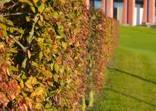 一棵树的绿色灌木在大厦背景的庭院里 免版税库存图片