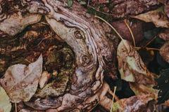 一棵树的美好的纹理与秋叶的 库存图片