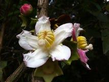 一棵树的花在秘鲁的雨林的 库存图片