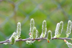 一棵树的芽春天 免版税库存图片