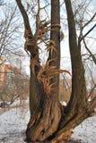 一棵树的设施在药商庭院里 莫斯科 免版税库存照片