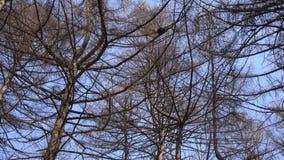 一棵树的赤裸分支反对蓝天关闭的, Panoraming 4K UltraHD, UHD 影视素材