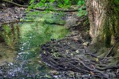 一棵树的赤裸根在森林小河的 图库摄影