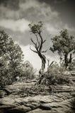 一棵树的黑白图象在布莱斯峡谷国家公园 库存照片