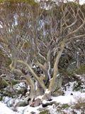一棵树的黄色颜色在澳大利亚山的 库存图片